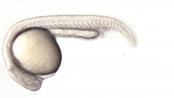zebrafish-embryo