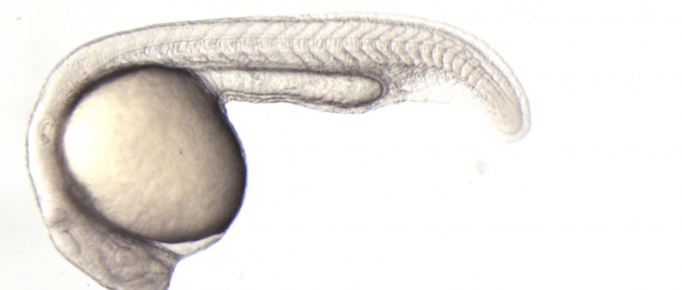 zebrafish-embryo